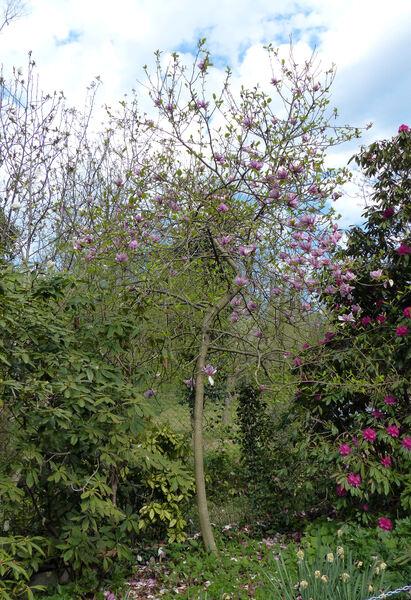 Magnolia 'Sweet Sixteen'
