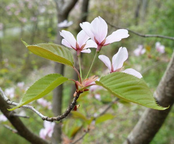 Prunus x juddii E.F.Anderson