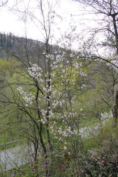 Prunus serrulata Lindl. 'Sunset Boulevard'