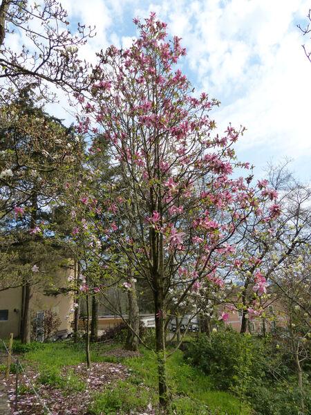 Magnolia campbellii Hook. f. & Thomson 'Wakehurst'