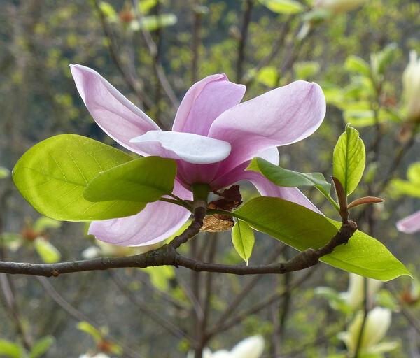 Magnolia 'Frank Gladney'