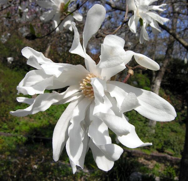Magnolia x loebneri P. Kache 'Ballerina'