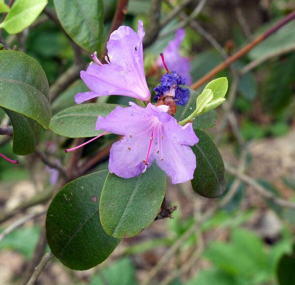 Rhododendron carolinianum Rehd. 'P.J.Mezitt'