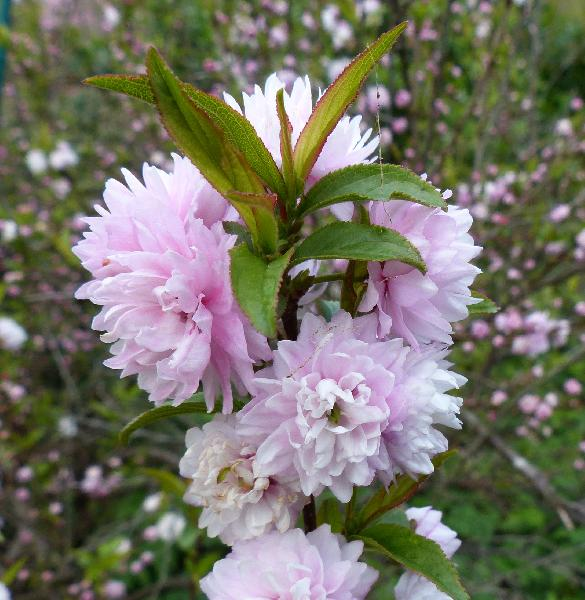 Prunus glandulosa Thunb. 'Sinensis'