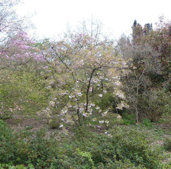 Prunus serrulata Lindl. 'Shogetsu'