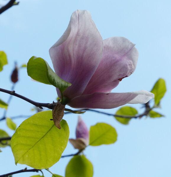 Magnolia x soulangeana Soul.-Bod. 'Grace McDade'