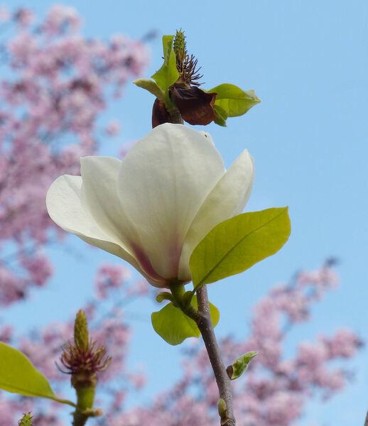 Magnolia x soulangeana Soul.-Bod. 'Lennei Alba'