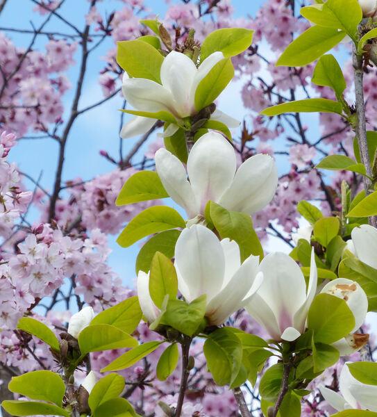 Magnolia 'Pickard's Garnet'