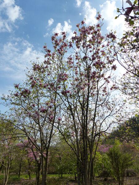 Magnolia 'Serene'