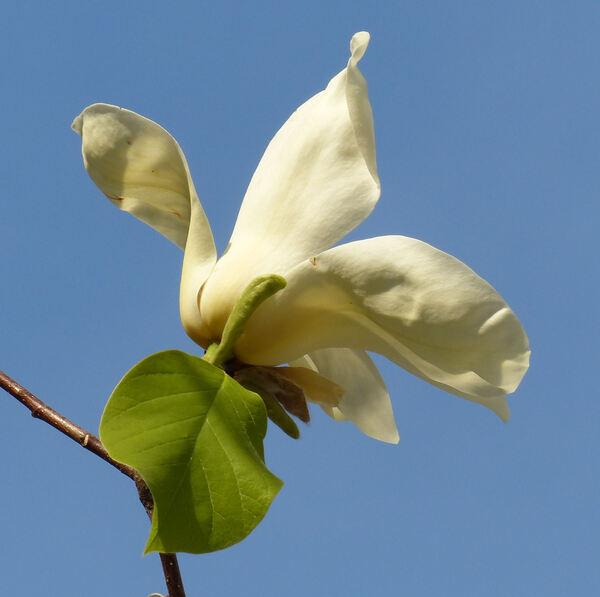 Magnolia 'Yellow Fever'