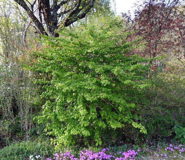 Viburnum plicatum Thunb. 'Cascade'