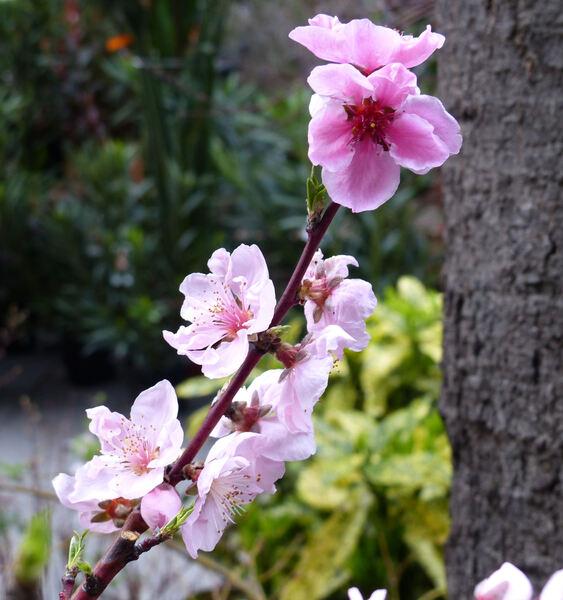 Prunus persica (L.) Batsch var. nucipersica (Borkh.) C.K.Schneid. 'Maria Carla'