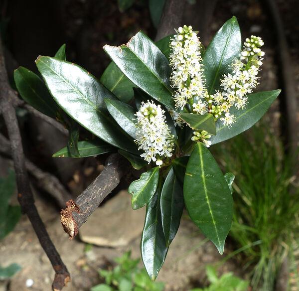 Prunus laurocerasus L. 'Otto Luyken'