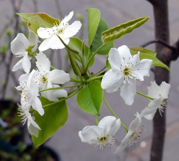 Pyrus pyrifolia (Burm. f.) Nakai 'Kosui'