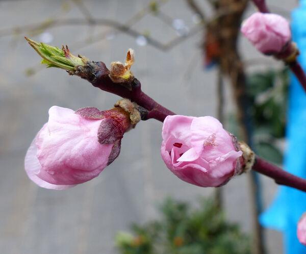 Prunus persica (L.) Batsch 'Fayette'