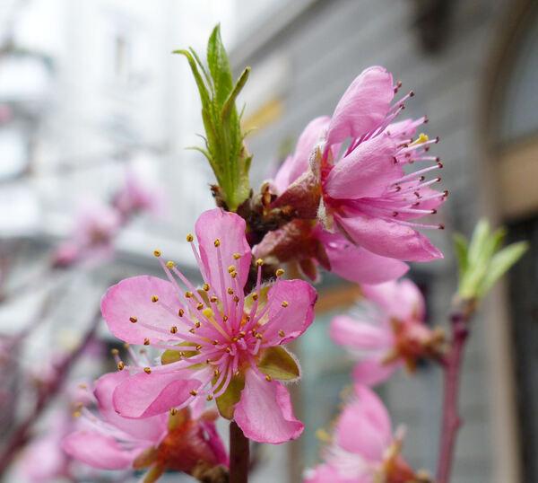Prunus persica (L.) Batsch 'Maria Bianca'