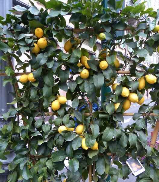 Citrus x limon (L.) Osbeck 'Carrubaro'