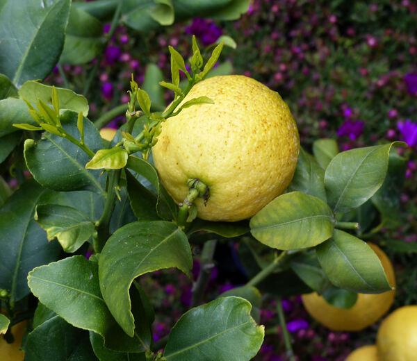 Citrus x limon (L.) Osbeck 'Lunario'