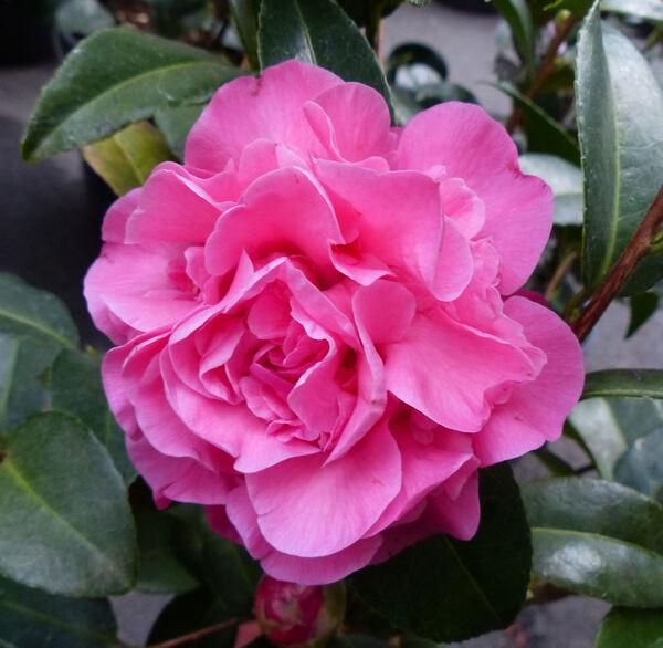 Camellia japonica L. 'Debbie'