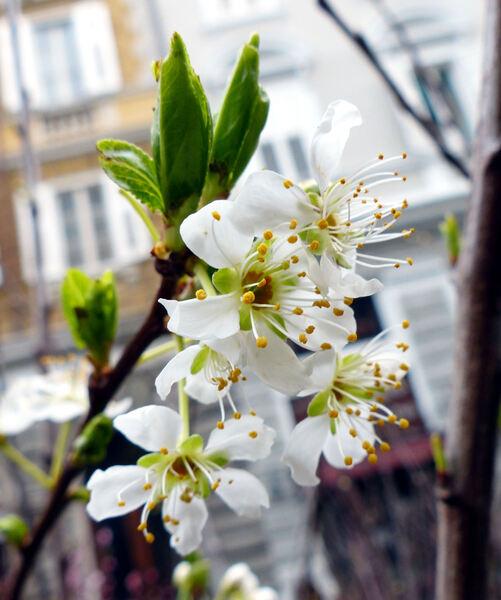 Prunus domestica L. 'Sangue di Drago'