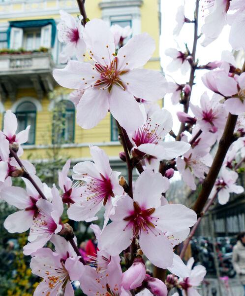 Prunus dulcis (Mill.) D.A. Webb 'Grossa Dolce'