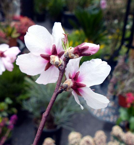 Prunus dulcis (Mill.) D.A. Webb 'Tenera Dolce'