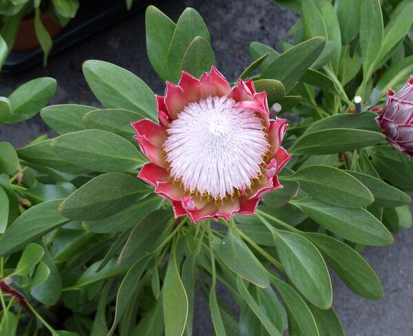 Protea cynaroides (L.) L. 'Little Prince'