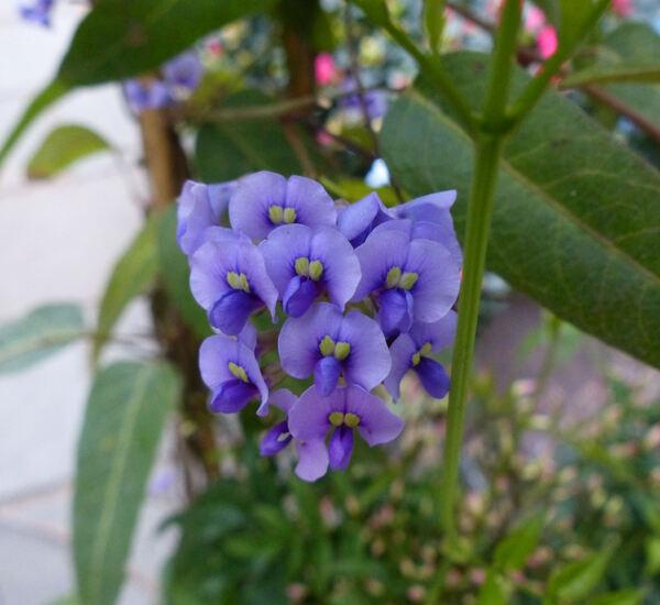 Hardenbergia violacea (Schneev.) Stearn 'Free 'n' Easy'
