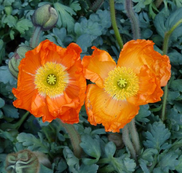 Papaver nudicaule L. 'Orange'