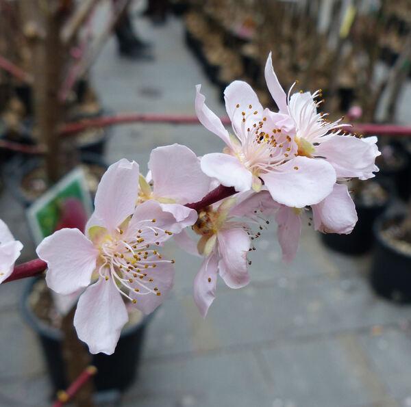 Prunus persica (L.) Batsch 'Percocca'
