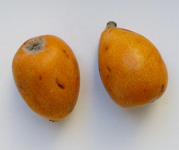 Eriobotrya japonica (Thunb.) Lindl. 'Algar'