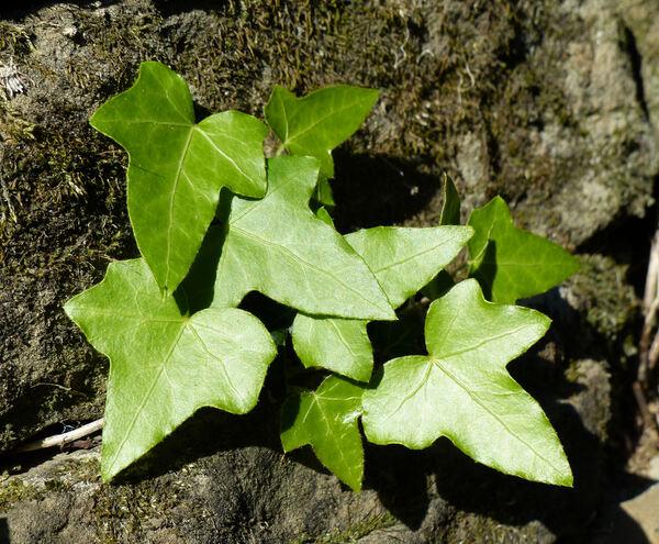 Hedera helix L. subsp. helix