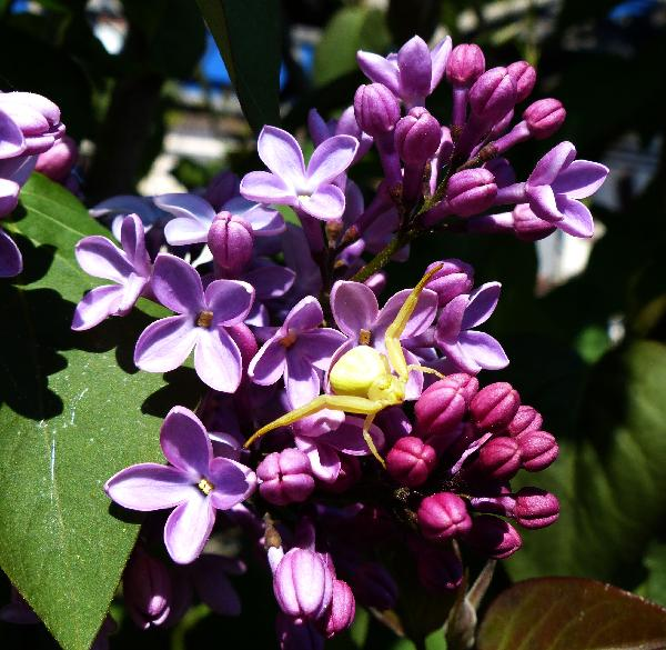 Syringa vulgaris L.