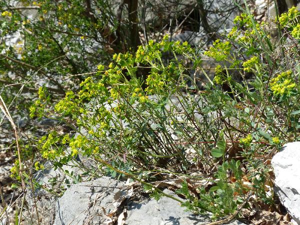 Euphorbia fragifera Jan