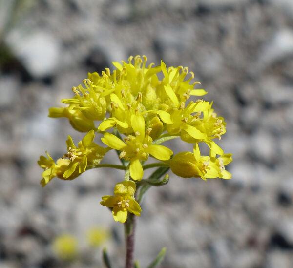 Alyssum montanum L.