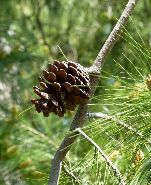 Pinus halepensis Mill.