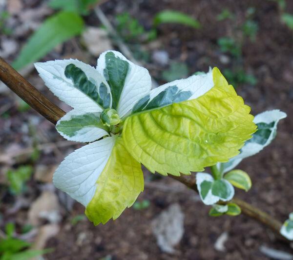 Hydrangea macrophylla (Thunb.) Ser. 'Gold Rush'