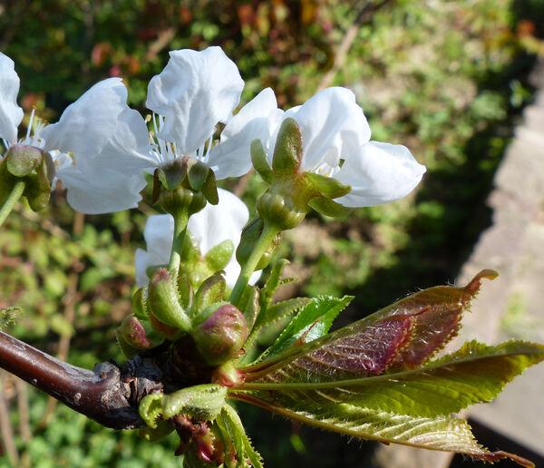Prunus avium (L.) L. 'Durone di Vignola'