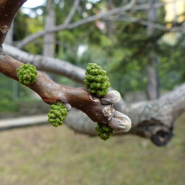 Juglans nigra L.