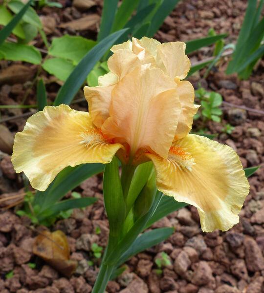 Iris 'Advance Design'