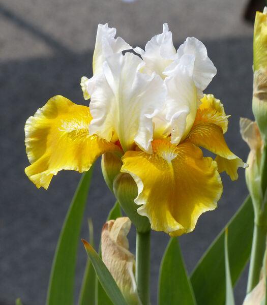Iris 'Protocol'