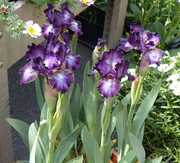 Iris 'Hoodlum'