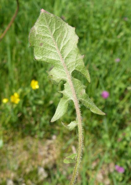 Crepis vesicaria L.