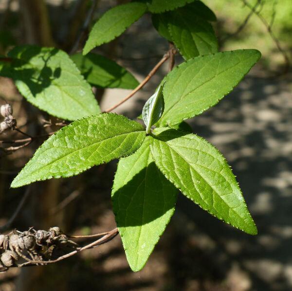 Deutzia x magnifica (Lemoine) Rehder