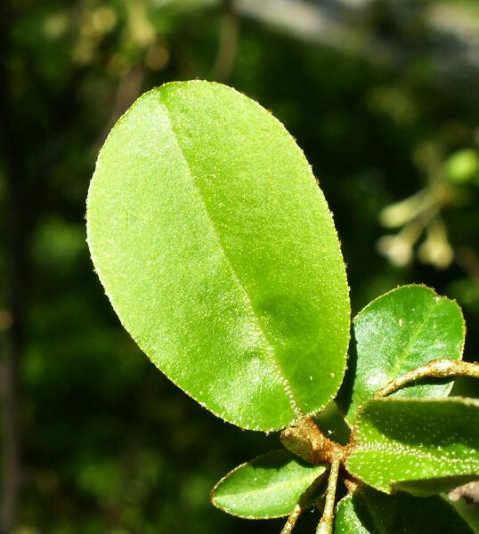 Elaeagnus multiflora Thunb.