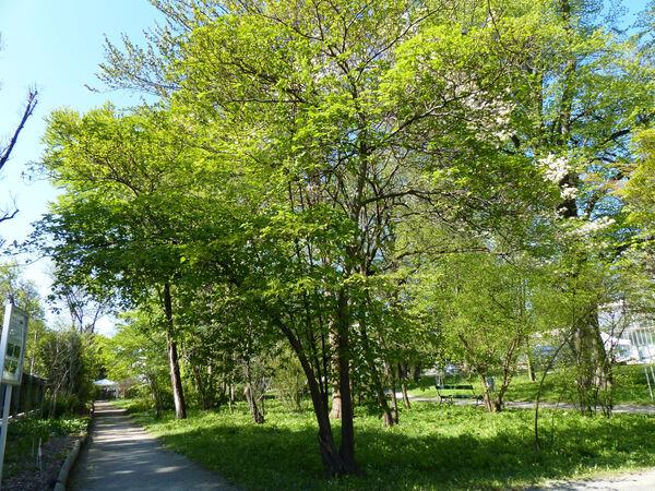 Cornus alternifolia L.f.