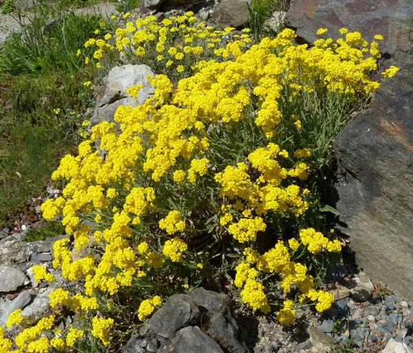 Aurinia saxatilis (L.) Desv. subsp. orientalis (Ard.) T.R.Dudley