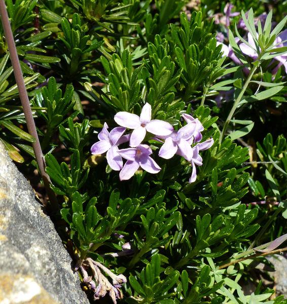 Daphne arbuscula Čelak.