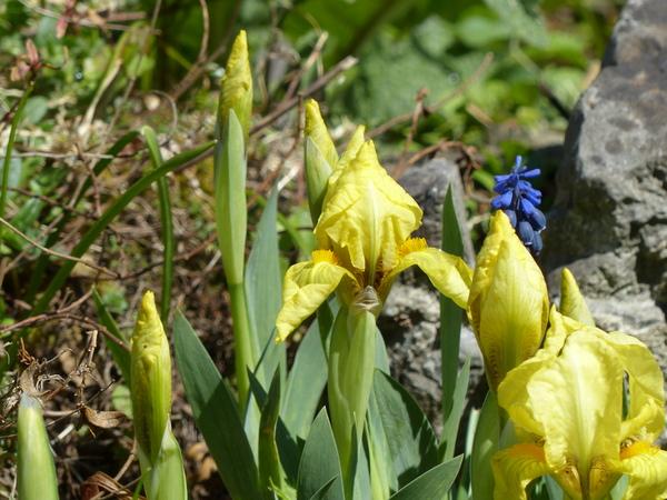 Iris reichenbachii Heuff.