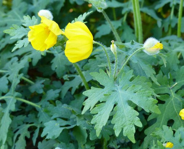 Stylophorum diphyllum (Michx.) Nutt.